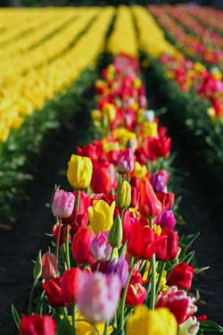 Woodburn-oregon-tulips-wedding