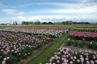 Adelman-peony-gardens-spring-wedding-flower